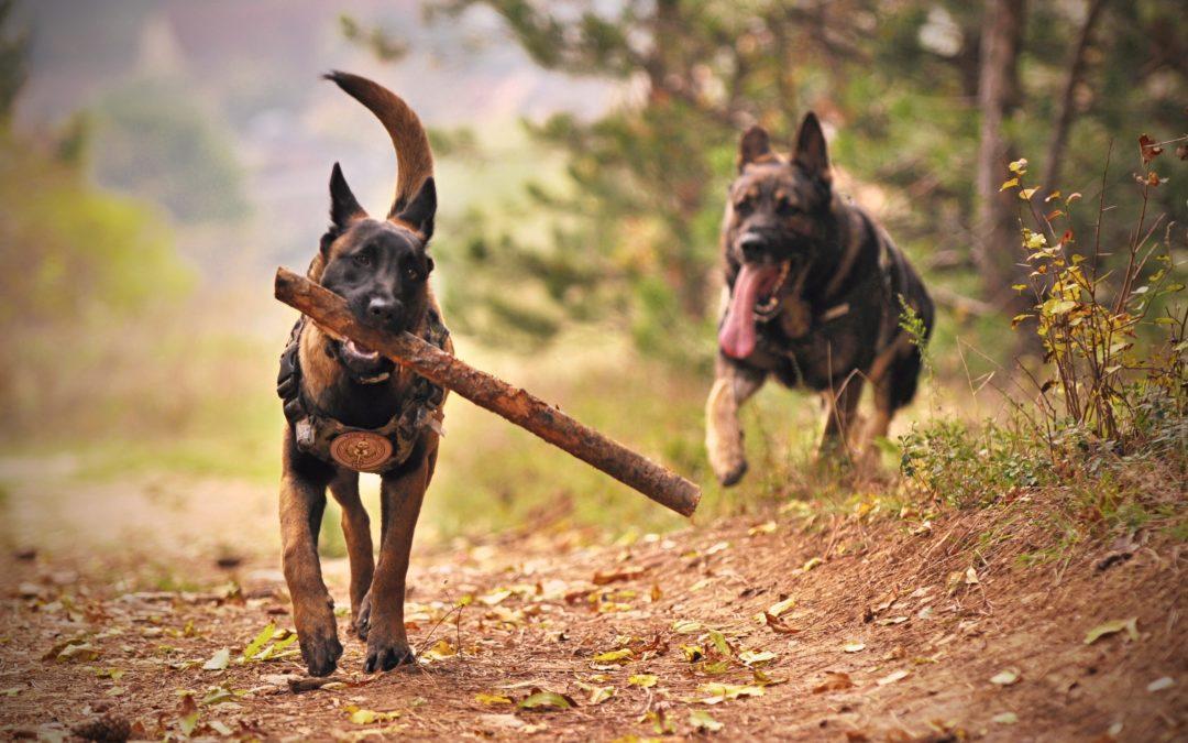 Perros de búsqueda y rescate: características y adiestramiento