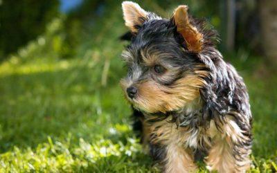Perros pequeños: ¿qué tipo de alimentación necesitan?